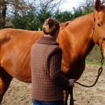 Désensibilisation du cheval